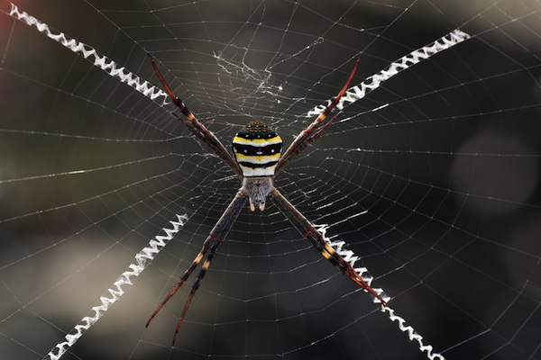 St.Andrews Cross spider