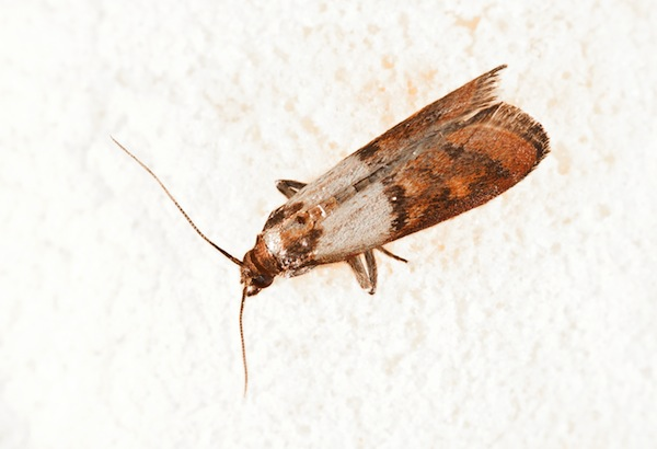The indian Meal moth - a common