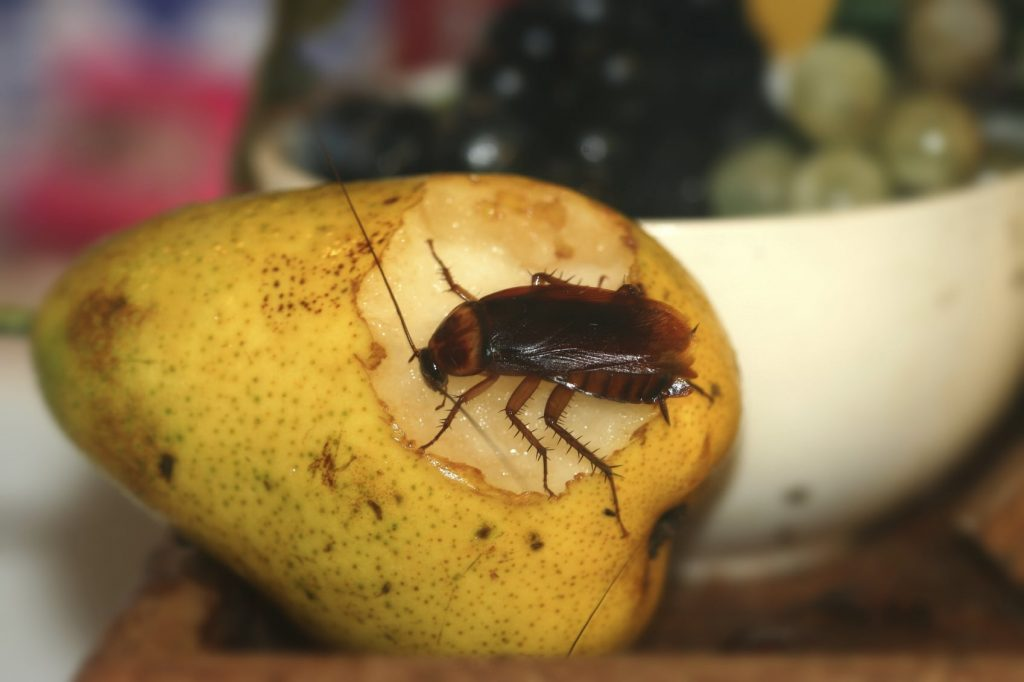 Cockroach on apple