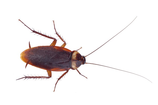 Adult American cockroach - up to 5cm long