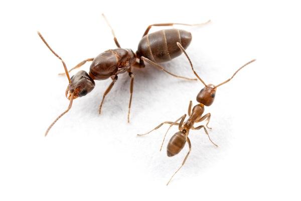 Dark brown ant