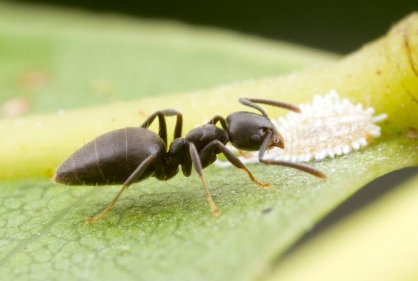 Dull black ant
