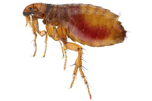 Adult cat flea