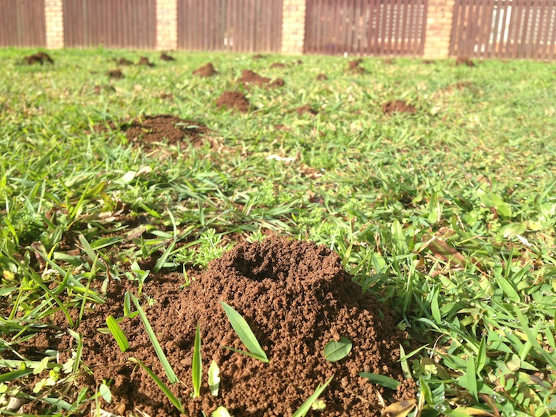 Funnel ant nests make a mess of lawns and undermine the soil structure