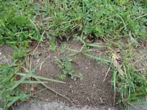 green headed ant nest image