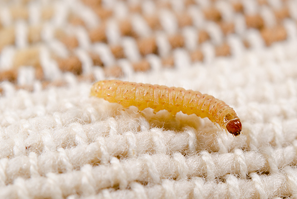 Clothes moth larvae