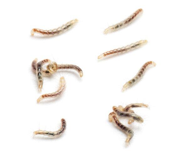 Flea larvae live in moist, sandy soil in shady areas