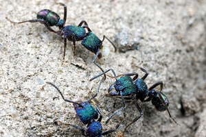 green headed ant image