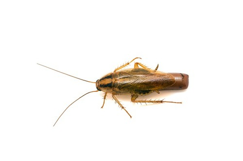 German cockroach carrying egg case