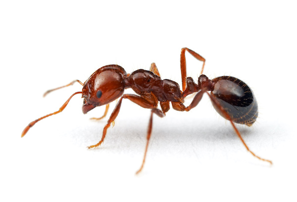 red imported fire ant image